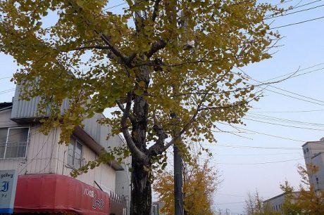 しんきん通りの銀杏並木