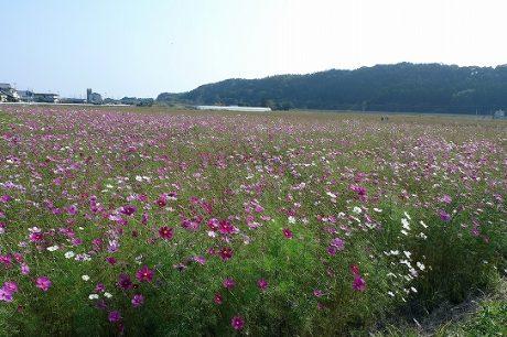高鍋のコスモス畑