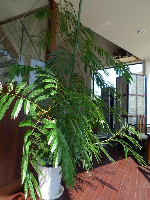 店内で育ててる観葉植物エバーフレッシュ