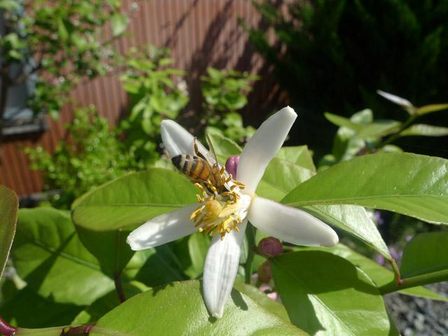 レモンの花にミツバチ