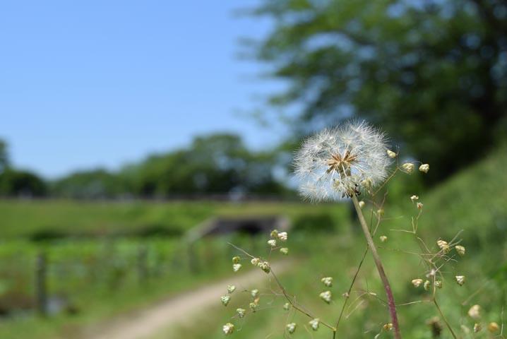 散歩道に咲いてたタンポポ
