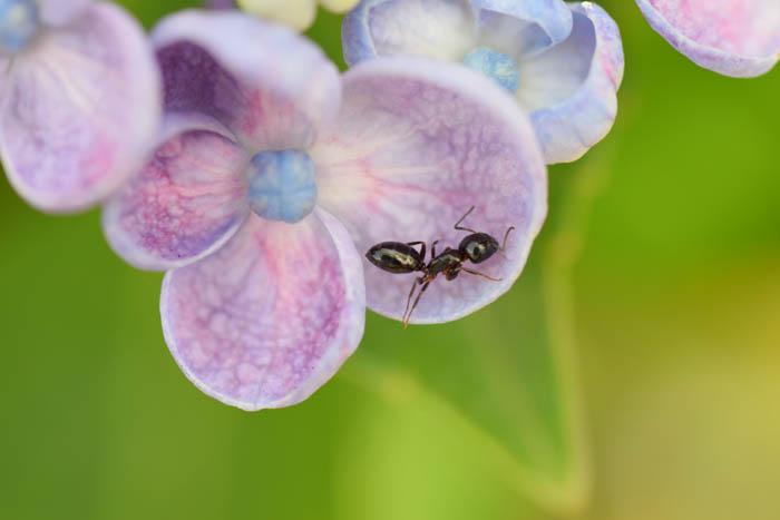 紫陽花にアリが
