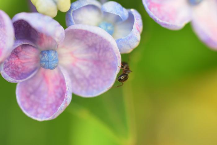 蟻と紫陽花
