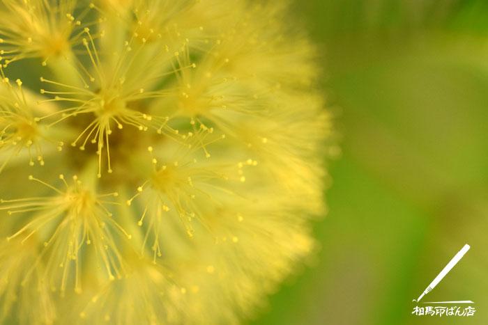 エバーフレッシュの花をマクロで撮影