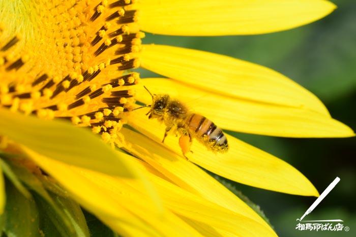 ミツバチが朝の蜜の採取