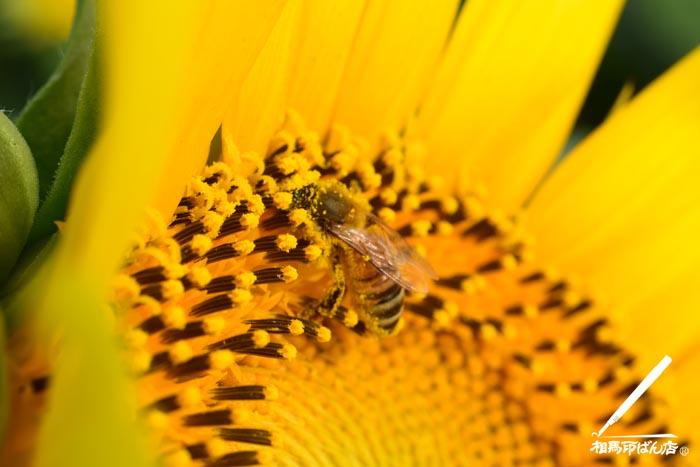 ヒマワリとハチ