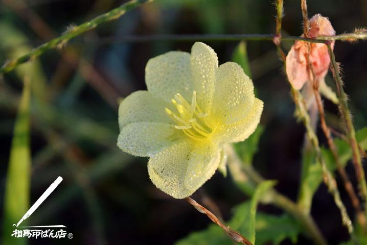 海岸に咲いていた黄色い草花