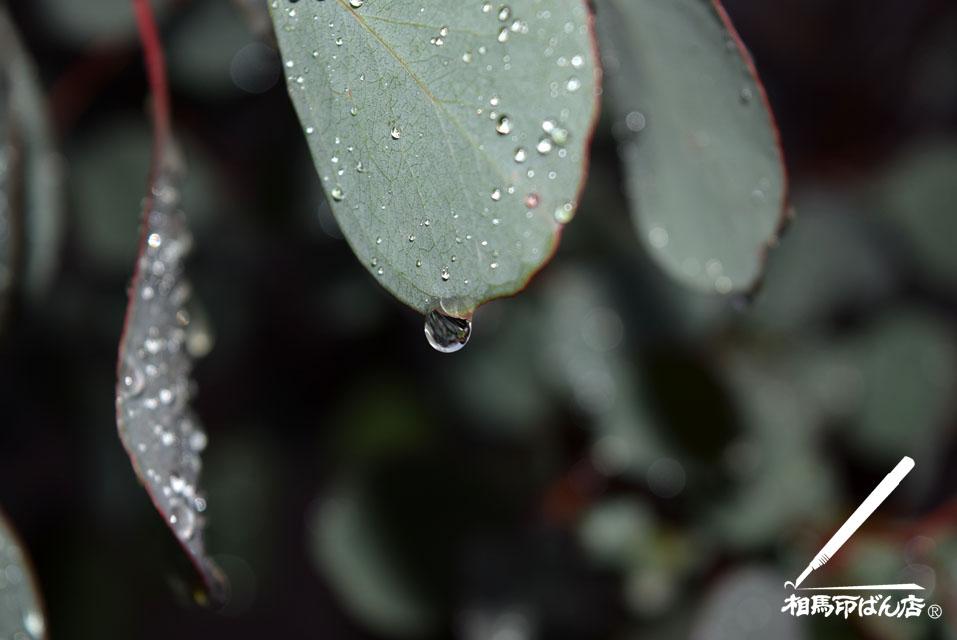 桂の葉に雨しずく