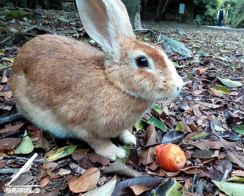 警戒心のないウサギ