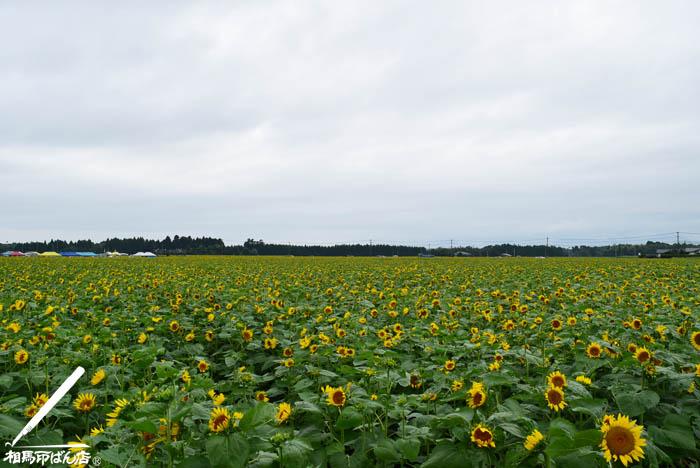高鍋町のヒマワリ畑
