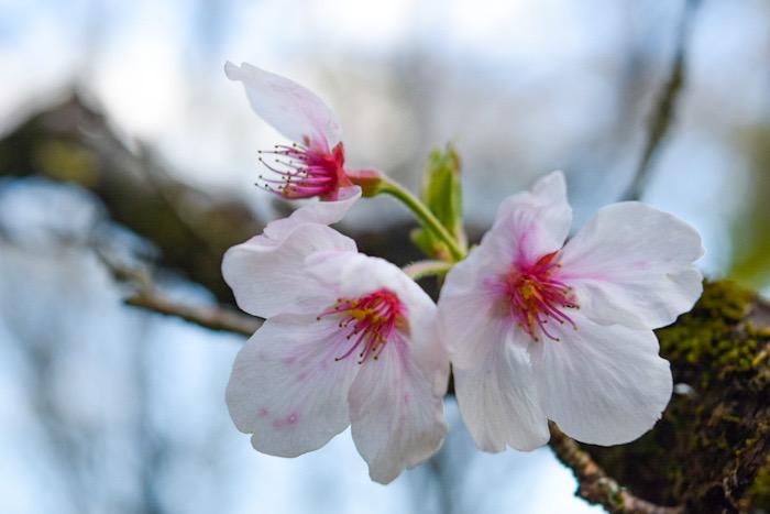 高鍋町の舞鶴公園に咲いてた綺麗な桜