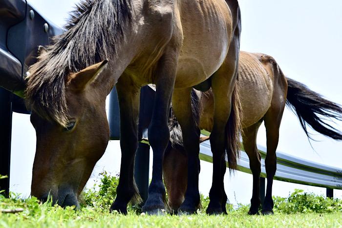 馬が生息している都井岬