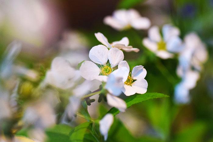 ユキヤナギの花を生ける